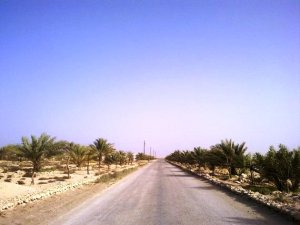 A view of dirt road lined with palm trees