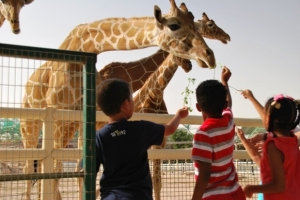 Feeding (touching) giraffe is an exciting experience for kids