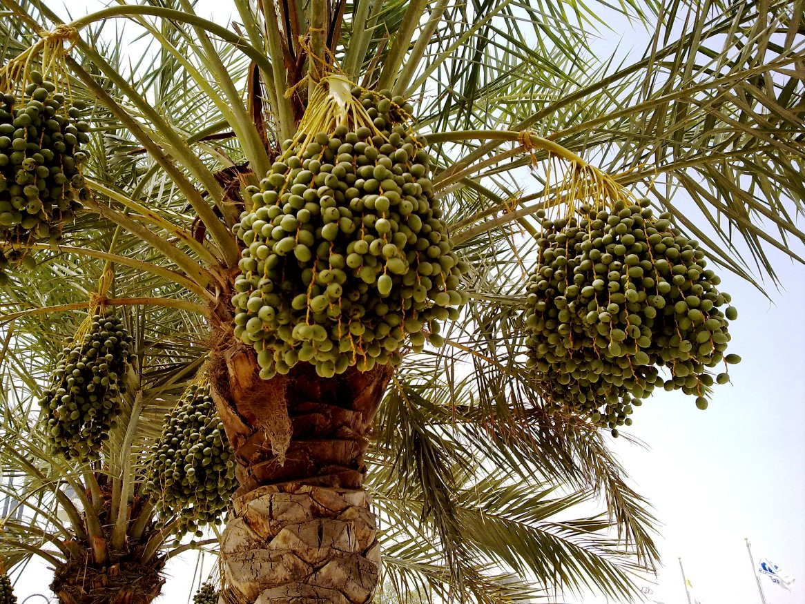 Date Palm with young fruits (photo taken at Al Waha Club, Al Khor ...