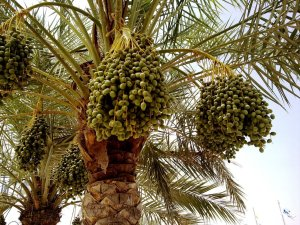 Date Palm with young fruits (photo taken at Al Waha Club, Al Khor Community, June 2009)