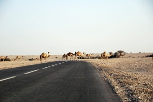 Blocked by camels on the way to Al Kharsaah village