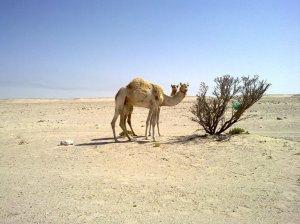 Photogenic camel