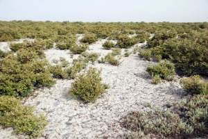 Salt-encrusted mangrove forest
