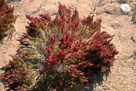 Halopeplis perfoliata