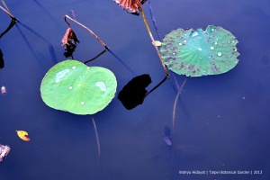 Floating lotus leaves