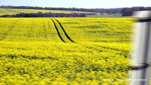 Rapeseed or oilseed rape crops