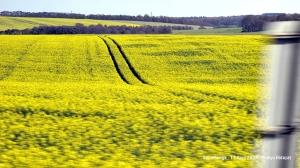 Rapeseed or oilseed rape crops